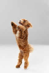 Flying, jumping. Maltipu little dog is posing. Cute playful braun doggy or pet playing on white studio background. Concept of motion, action, movement, pets love. Looks happy, delighted, funny.