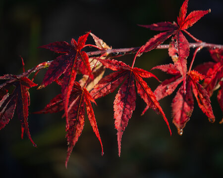 Acer Palmatum Chitoseyama in autumnal colour