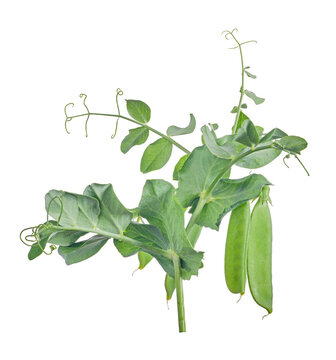 two pea green pods with leaves on white