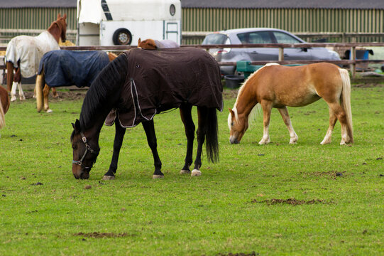 Two brown horses standing in a pasture in Arnhem, Netherlands