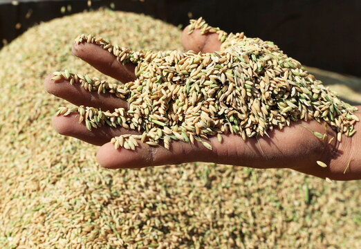 A farmer shows rice grains after harvesting them from a field in the province of Al-Sharkia, northeast of Cairo