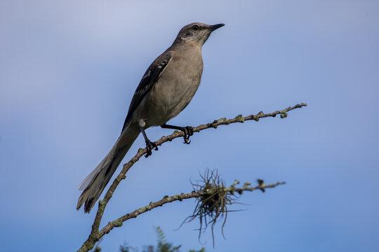 Catbird standing on a branch - Florida wildlife