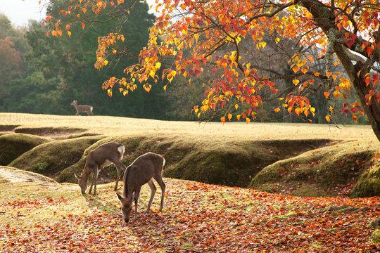 鹿とナンキンハゼの紅葉