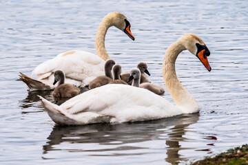 family of swan