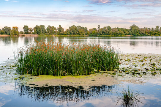 Scirpus plants and yellow waterlily in the Dnieper river in Kiev, Ukraine, at evening.