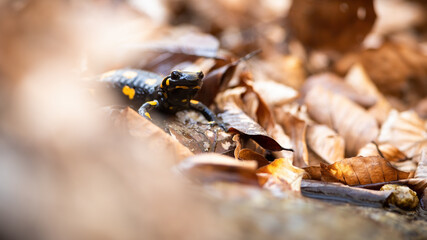 Fire salamander, salamandra salamandra, hiding in dry orange foliage in autumn nature. Small black reptile standing on leafs. Little dark animal looking in fall nature with copy space. Wall mural