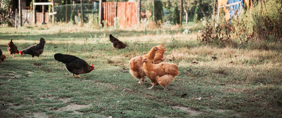 Free range chicken farming in Eastern Serbia. Wide, banner format