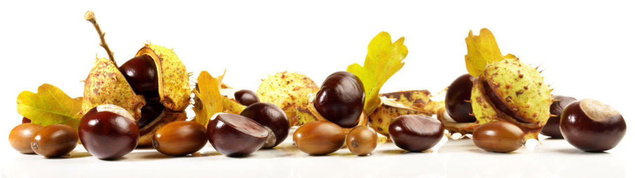 Chestnuts with Acorns isolated on white Background - Panorama
