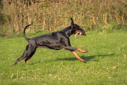 Doberman dog K9 in training