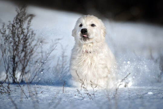 golden retriever puppy running outdoors in the snow