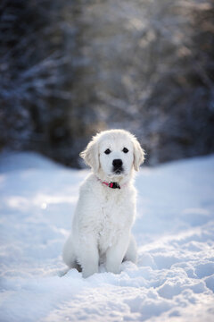 golden retriever puppy sitting in the snow outdoors