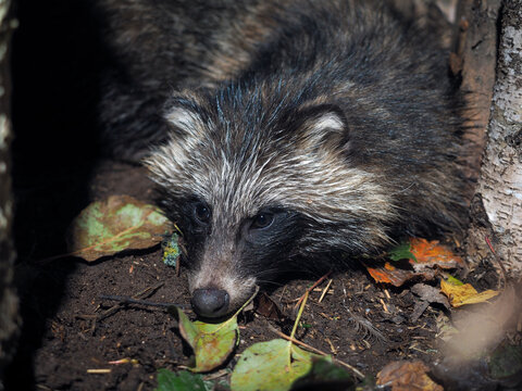 Raccoon dog in the wild. Portrait of an animal