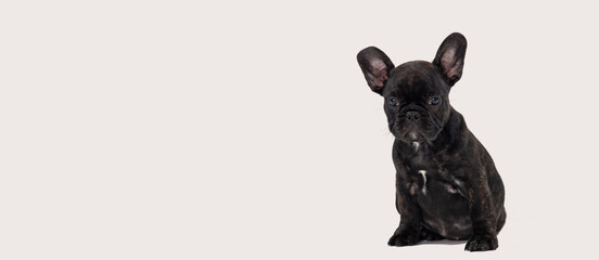 Black french bulldog puppy on white background