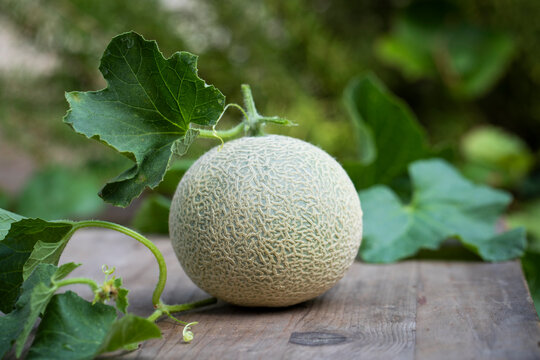 Fresh picked homegrown cantaloupe on the vine
