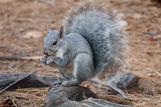 A western gray squirrel is shown eating an acorn on the forest floor during an autumn day.