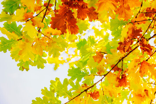 Multi colored autumn leaves on sunny sky background, colorful tree in fall