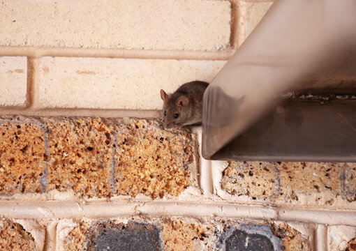 Little gray mouse crawls out of  metal construction