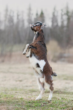 Miniature goat yeanling playing outdoors