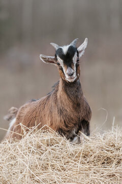 Miniature goat yeanling standing near a pile of hay