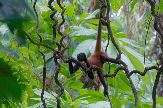 Spider Monkey (Ateles geoffroyi) at Corcovado National Park, Costa Rica