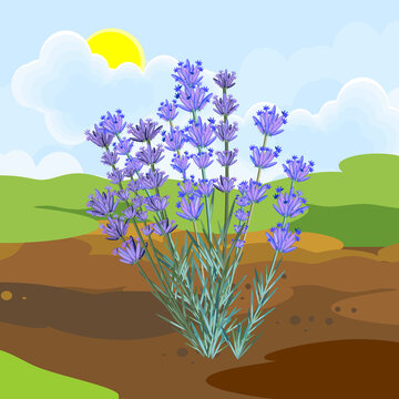 Blooming lavender plant with flowers and green leaves growing from the ground on background of summer landscape
