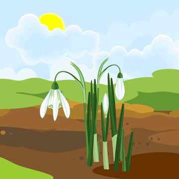 Blooming snowdrop plant with white flowers and green leaves growing from the ground on background of spring landscape