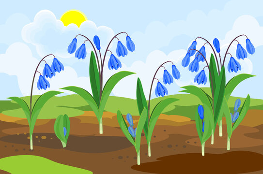 Blooming Siberian squill or Scilla siberica plants with blue flowers and green leaves growing from the ground on background of spring landscape