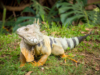 Green Iguana (Iguana Iguana) Large Herbivorous Lizard Staring on the Grass in the Botanical Garden of Medellin, Antioquia / Colombia Wall mural