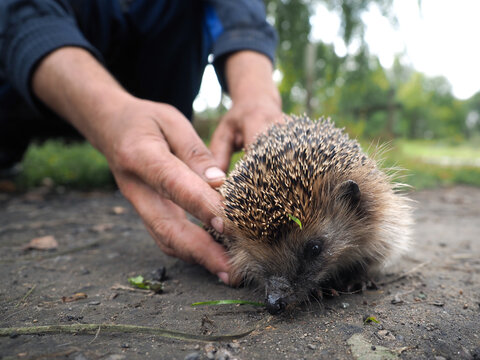 A volunteer releases a hedgehog into the wild. The interaction of human and animal