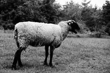 Wall Mural - Shropshire ewe in black and white on sheep farm.