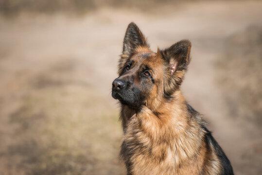 Portrait of German shepherd breed dog