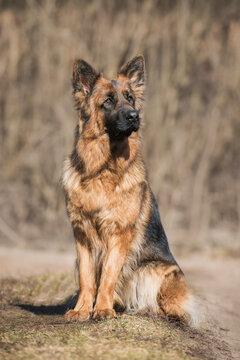 Long-haired German shepherd breed dog sitting outdoors