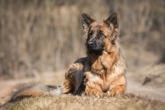 Long-haired German shepherd dog lying in the yard