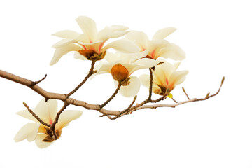 Magnolia flower in a white background