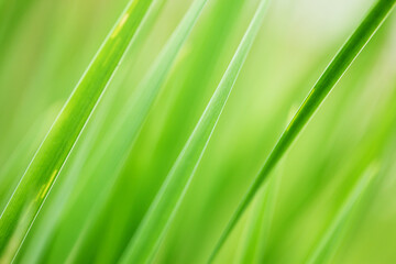 Wall Mural - Abstract background fresh green grass. Extreme macro close-up, shallow DOF.