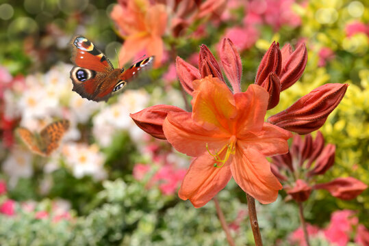 Schmetterling 710