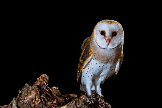 Barn owl perched at night on a log with dark background