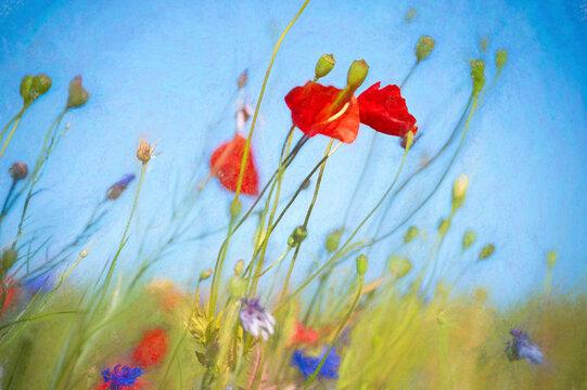 Mohnblumen im Sommerwind
