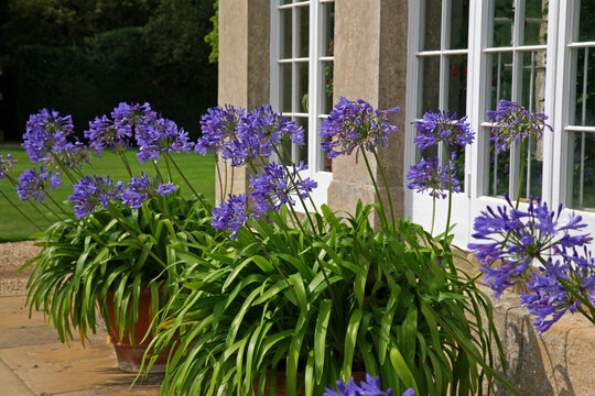 Large Blue Flowers - Agapanthus Africanus, Blue Umbrella Plants