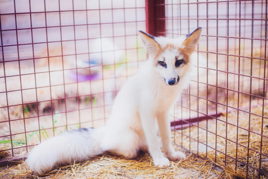 Small three-month-old fox rescued from a fur farm in a shelter