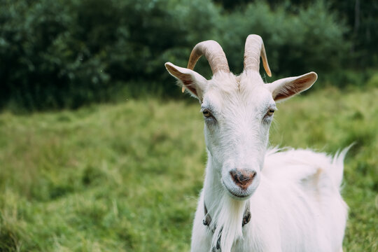 Portrait of a white goat grazing on the grass. Close-up, the animal looks into the camera and wiggles its ears.
