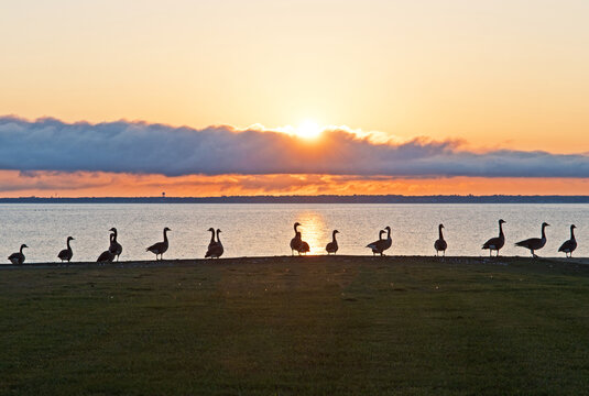 Canada Geese are silhouetted against the setting sun with Buzzards Bay, Massachusetts, in the background.