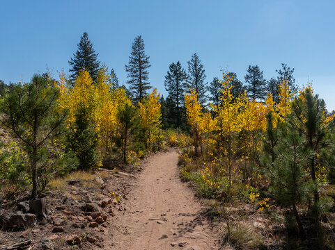 Dirt Trail Through Small Golden Yellow Aspen Trees in Fall