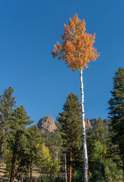 Solitary Golden Orange Aspen Tree with Rocky Backdrop