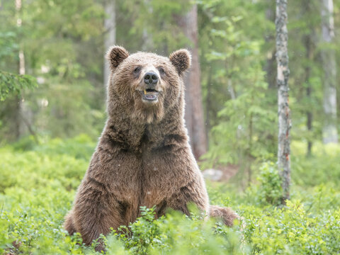 Old male brown bear sitting on his rear end in  in boreal forest, Finland