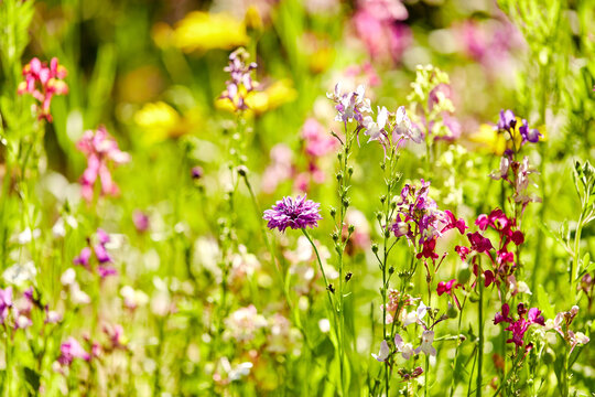 gardening, botany and flora concept - beautiful field flowers in summer garden