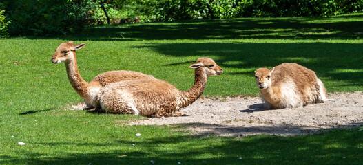 Vicunas, Vicugna Vicugna, relatives of the llama