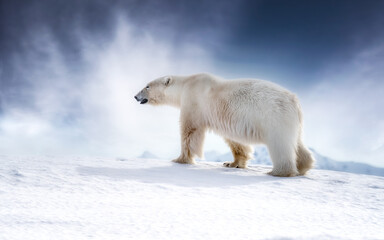 Beautiful adult male polar bear, ursus maritimus, walking across the snow of Svalbard