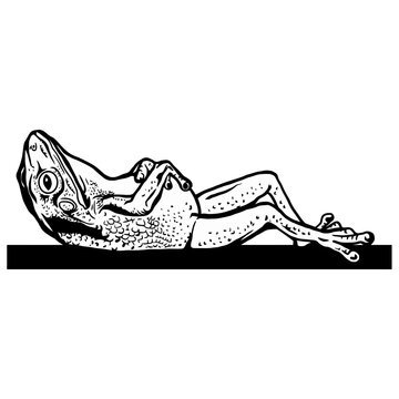 Lazy frog who sleep - Hand drawn in a graphic style. Vintage vector engraving illustration for label, poster, logotype. Isolated on white