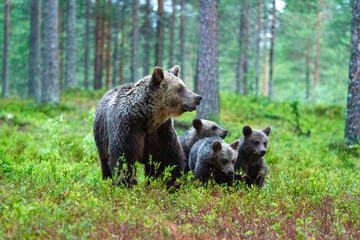 bear untouched nature of finland scandinavia europe